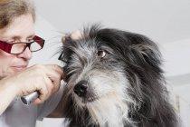 Femme vétérinaire examinant l'oreille de chiens en clinique — Photo de stock