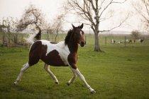 Pferd Rennen auf dem Rasen im Herbst field — Stockfoto