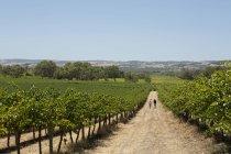 Люди идут по грунтовой дороге на винограднике — стоковое фото