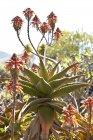 Vista de cerca de la planta de Aloe Striata en el día soleado - foto de stock