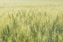 Fotografía completa de cultivos que crecen en el campo iluminado por el sol - foto de stock