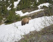 Side view of bear on snowcapped mountain slope — Stock Photo