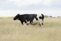 Vista lateral de pie de vaca en el campo de hierba del campo - foto de stock