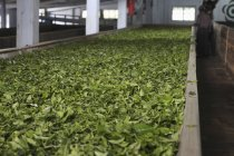 Perspective view to tea leaves drying in factory — Stock Photo