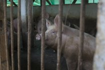 Вид збоку свиня в корпус в сільському господарстві — стокове фото