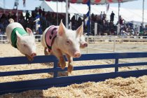 Pigs in mid air while race at fair — Stock Photo