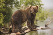 Full length side view of Kamchatka brown bear on log at lakeshore — Stock Photo
