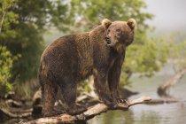 Vista lateral de comprimento total do urso marrom de Kamchatka no log no lago — Fotografia de Stock
