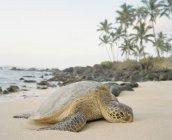 Велика морська черепаха, лежачи на піщаний пляж — стокове фото