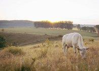 Коров, пасущихся на поле сельской местности против ясного неба — стоковое фото
