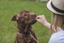 Por cima do ombro tratar a visão da mulher alimentação Staffordshire Terrier — Fotografia de Stock