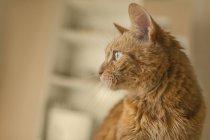 Bouchent portrait de chat marron à la recherche. — Photo de stock