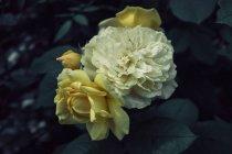 Close-up vista da amarelas flores desabrochando em bush — Fotografia de Stock