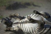 Close-up of zebra lying in field — Foto stock