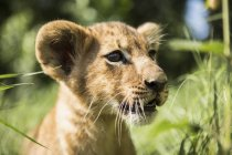 Close-up of lion cub looking away — Stock Photo