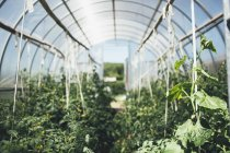 Rows of vegetable plants growing in greenhouse — Stock Photo