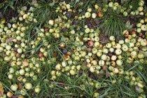 Зверху зору гнилий яблук на траві — стокове фото
