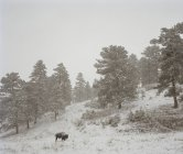 Distant view of American buffalo standing on snowy hillside — Stock Photo