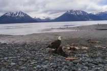 Bald eagle perching on dead animal against sky, Anchorage, Alaska, USA — Stock Photo