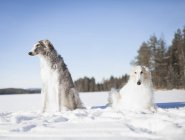 Borzoi dogs looking away while resting in snow covered field — Stock Photo