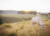 Vache broutant sur le champ contre un ciel dégagé — Photo de stock