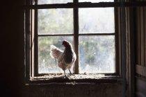 Hinterleuchtetes Huhn auf Fensterbank im Stall — Stockfoto