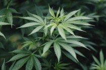 Nahaufnahme von Marihuanapflanze wächst im freien — Stockfoto