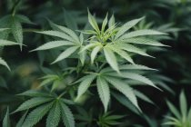 Primer plano de la planta de marihuana cultivada al aire libre - foto de stock