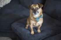 Высокоугловой портрет собаки на синем диване дома — стоковое фото