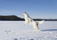 Seitenansicht des Barsois springen in schneebedecktem Feld gegen blauen Himmel — Stockfoto