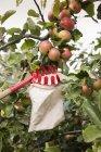 Vista de ángulo bajo del recolector de frutas debajo de las manzanas en el huerto - foto de stock