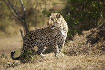 Leopard im Feld — Stockfoto