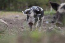 Фронтальний вид свиня стоячи на полі — стокове фото