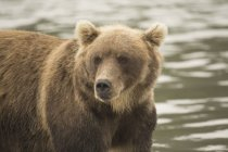 Close up of Kamchatka brown bear in lake — Stock Photo