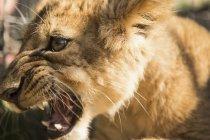Close-up of lion cub roaring — Stock Photo