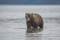 Brown bear eating salmon in lake, Kurile Lake, Kamchatka Peninsula, Russia — Fotografia de Stock