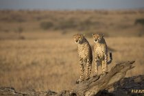 Cheetahs standing on fallen tree in field — стоковое фото