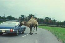Kamel schaut in Oldtimer im Naturschutzgebiet — Stockfoto