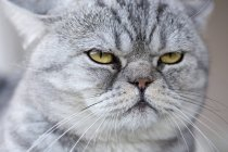 Gray domestic cat looking serene — Stock Photo