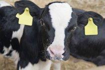 Портрет теленка с тегами на уши — стоковое фото