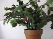 Chiuda sulla vista di pianta in vaso del cactus di Natale su priorità bassa bianca — Foto stock