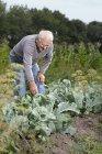 Senior man bending over to inspect plant in garden — Stock Photo