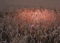 Corn field with glowing pink light — Stock Photo