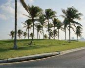 Пальмы на газоне у дороги — стоковое фото