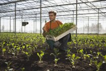 Man in apron picking crop in greenhouse — Stock Photo