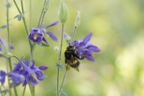 Close p view of bee on purple flower — Stock Photo