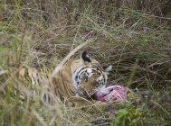 Tigre couché dans l'herbe et se nourrissant de tuer — Photo de stock