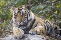 Tigre au repos sur le rocher — Photo de stock