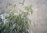 Albero di bambù lascia coperto in neve — Foto stock