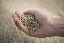 Main de récolte incurvé sur céréales — Photo de stock